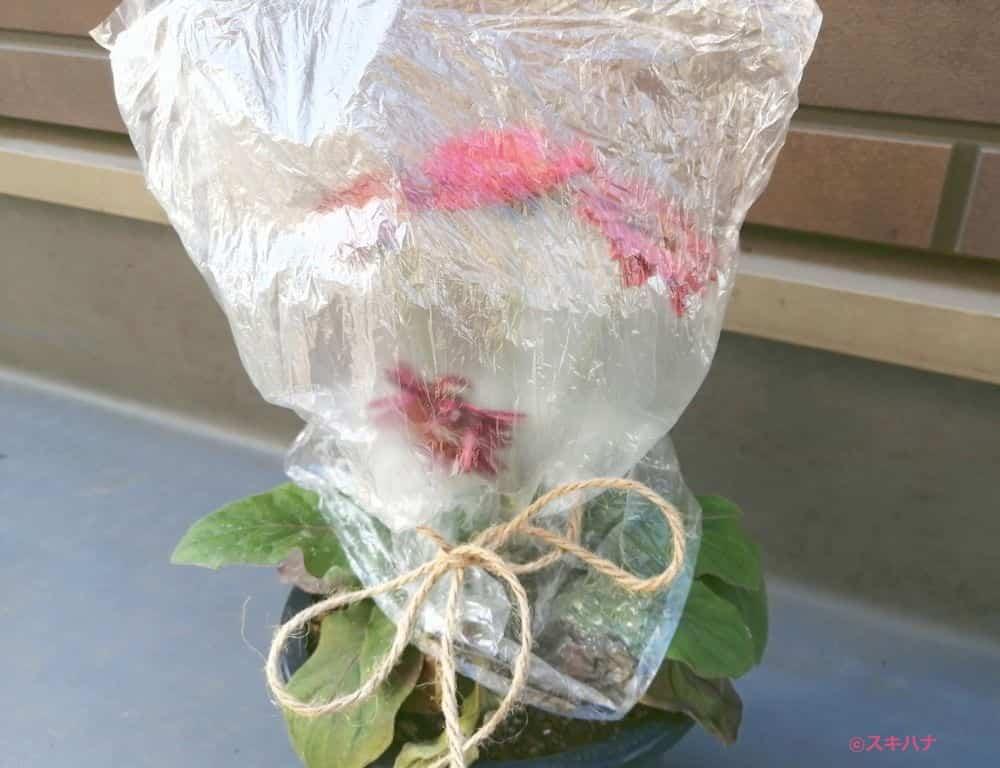 ビニール袋で覆ったガーベラ