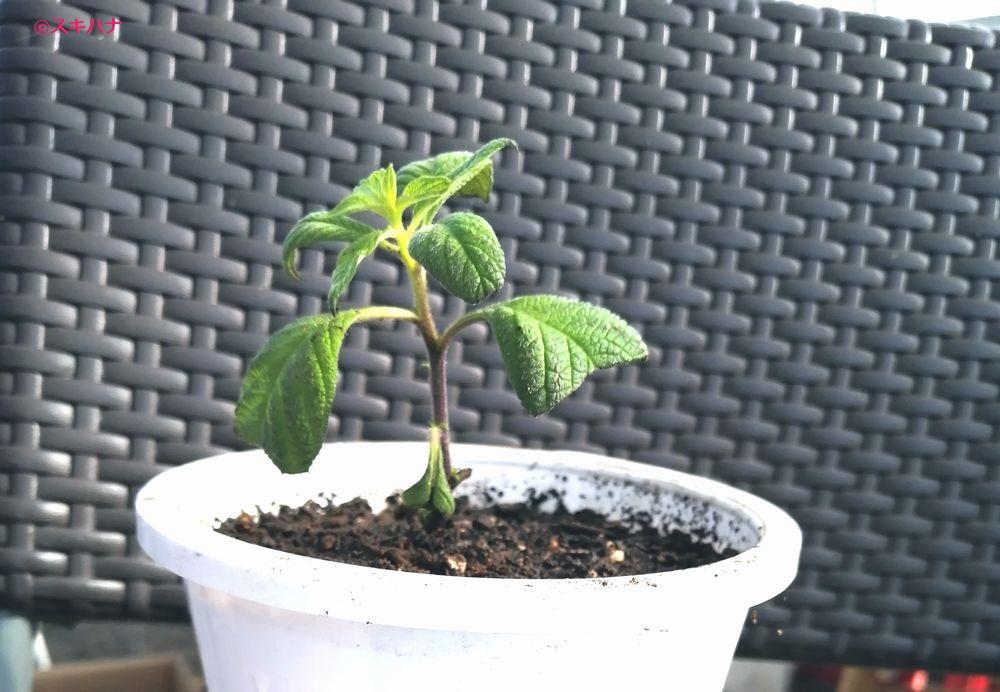 鉢植えしたヘリオトロープの挿し木