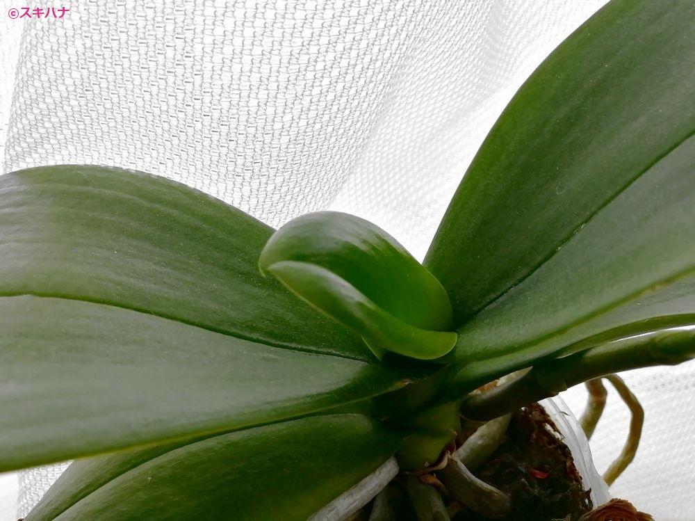 新芽の出た胡蝶蘭
