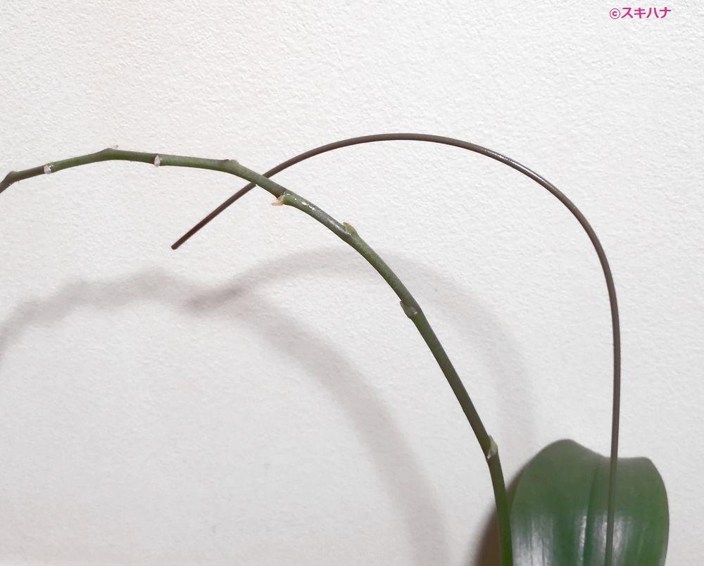 胡蝶蘭と支柱