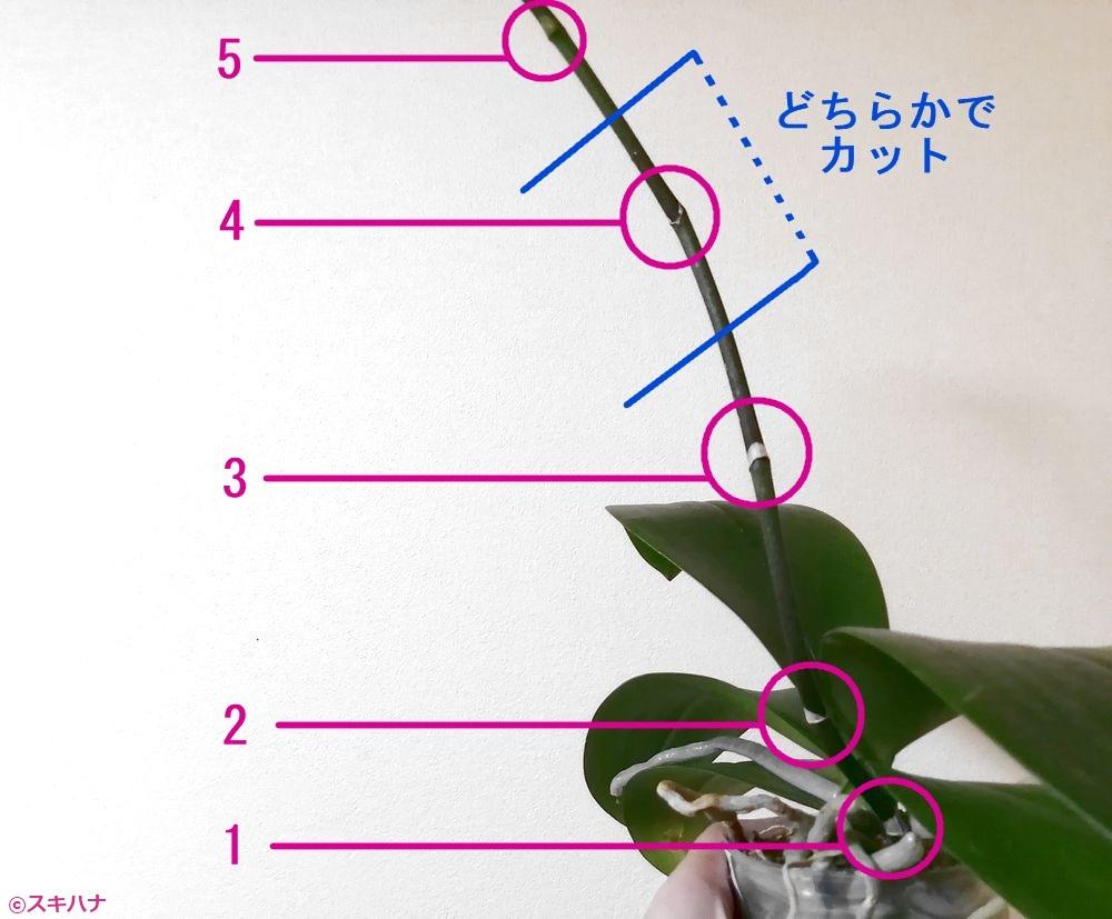 胡蝶蘭の剪定位置