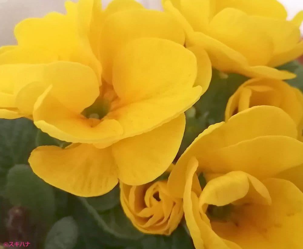 黄色いプリムラジュリアン